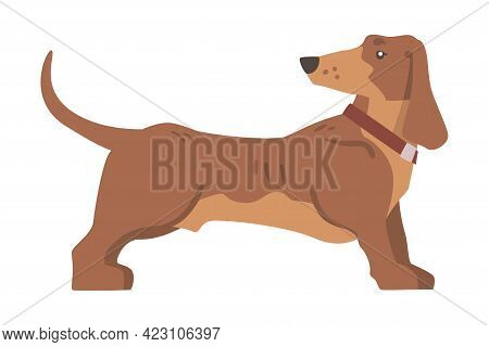 Dachshund Or Badger Dog As Short-legged And Long-bodied Hound Breed With Collar Standing Vector Illu