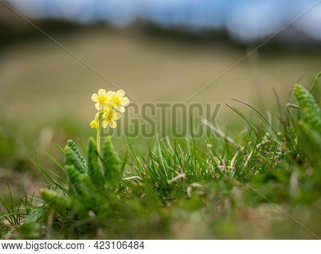 Closeup Of An Oxlip (primula Elatior, Primulaceae) In The Austrian Alps