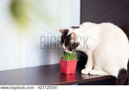 White Shorthair Cat Eats Special Cat Grass. Growing Grass For Cats At Home.