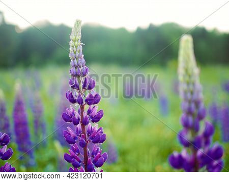Summer Wild Flowers Lupine In Meadow At Sunset Sunrise. Purple Flowers Lupinus, Lupin, Lupine. Summe