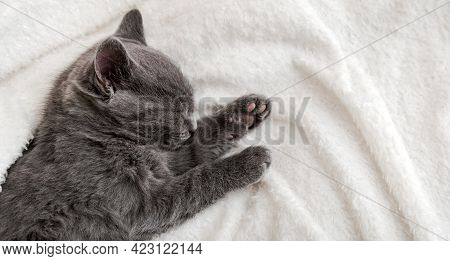 Cute Grey Kitten Sleeping On White Soft Blanket. Cat Portrait With Paw Rest Napping On Bed. Comforta