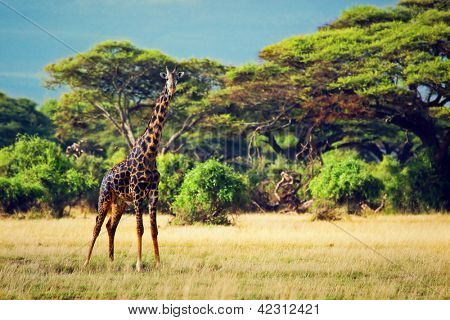 Single giraffe on savanna. Safari in Amboseli, Kenya, Africa poster