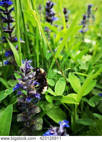 Bee On A Purple Flower In The Green Grass