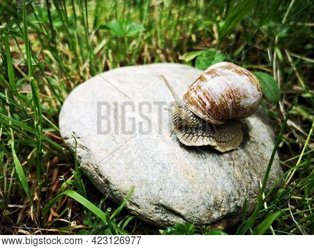 Snail Crawling On The Ground - Snails On The Ground After Rain