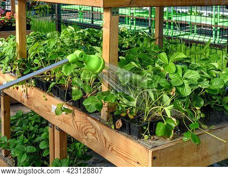Watering Hose, Spray Gun For Watering Plants In The Garden. Watering Garden Strawberries In The Gard