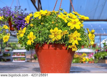 Close-up Of A Pot Of Yellow Bacopa Flowers Standing On A Wooden Shelf In The Garden Center