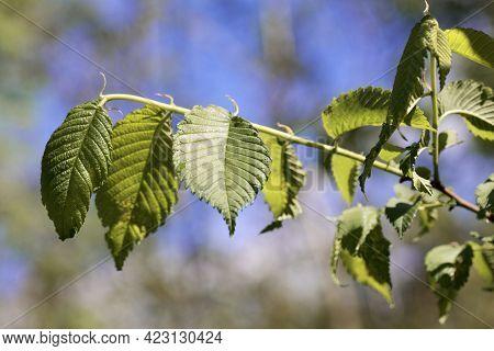Leaves Of An American Elm, Ulmus Americana