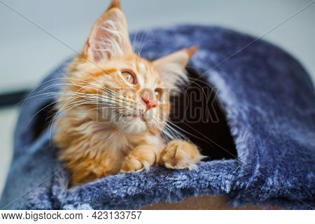 Maine Coon Kitten In Its Gray Soft Home.