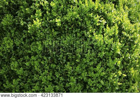 Branches And Leaves Of A Boxwood Bush Hedge Close-up