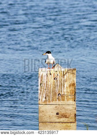 Grey And White Plumage On A Fosters Tern Perched On A Wooden Piling