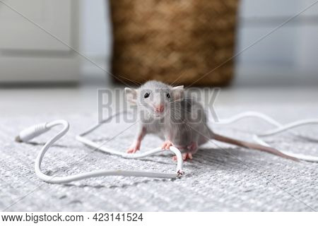 Rat With Chewed Electric Wire On Floor Indoors. Pest Control