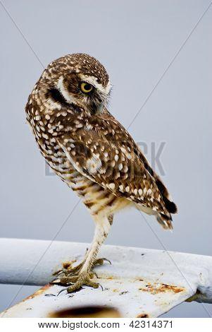 Burrowing Owl: Athene cunicularia