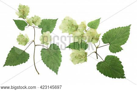 Pressed And Dried Hop (humulus Lupulus) Female Flowers With Green Leaves. Isolated On White Backgrou