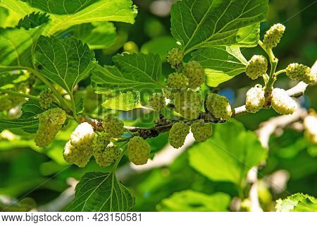 Mulberry Tree And Mulberry Fruits With Green Leaves