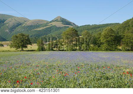 Panoramic View Of Cornflowers Field In The Annifo Plateau, Umbria