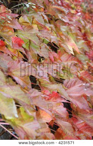 Autumn Leaves In Fiesole 2