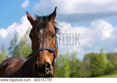 Portrait Of A Horse, Brown,chestnut Horse.thoroughbred Youngster Posing On The Green Meadow Summerti