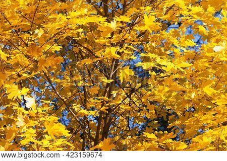 Maple-tree With Autumn Yellowed Sunlight Maple Leaves In Forest At Sun Day. Natural Background