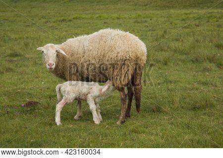 Portrait Of Female Sheep In Lush Green Field With Her Newborn, Lamb Suckling Milk In Castelluccio Di