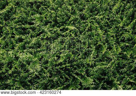 Green Coniferous Bush.thuja Hedge Texture. American Arborvitae Plant Pattern. Evergreen Thuja Occide