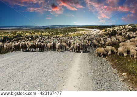Sunset over herd of merino sheep in Tierra del Fuego, Argentina