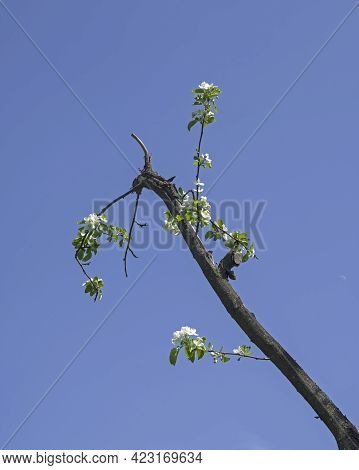 The Will To Live - Young Shoots With Flowers On An Old Diseased Withering Branch Of An Apple Tree.