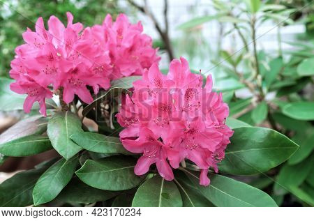 Pacific Pink Rhododendron (rhododendron Macrophyllum) Is A Large-leaved Species Of Rhododendron Nati