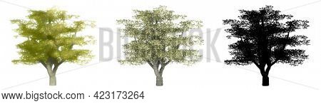 Set or collection of Cherry trees, painted, natural and as a black silhouette on white background. Concept or conceptual 3d illustration for nature, ecology and conservation, strength, endurance