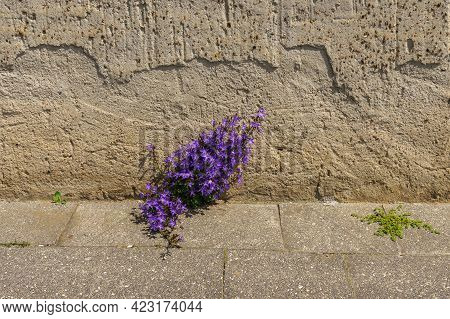 Blue Flowers Breaking Through The Tiles Of The Sidewalk. Embossed Plaster Of The Building Wall.