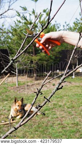Pruning A Fruit Tree In Spring. Female Hands With Pruning Shears Carry Out Garden Pruning. Close-up