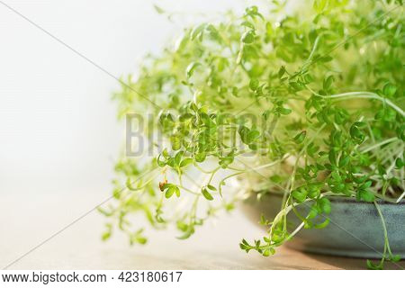 Micro Greens. Watercress Sprouts In A Bowl