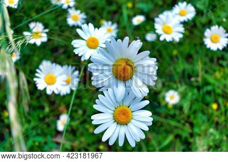 Leucanthemum Vulgare, Commonly Known As The Ox-eye Daisy, Or Dog Daisy, Covered In Tiny Water Drople