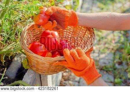Red Tomato In Farmer Hands. Harvesting Tomatoes In Basket. Ripe Tomato Vegetables. Home Garden. Pick