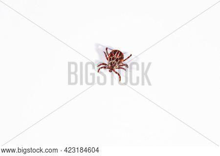 Mite On A White Background. Danger Of Parasite Tick Bite.