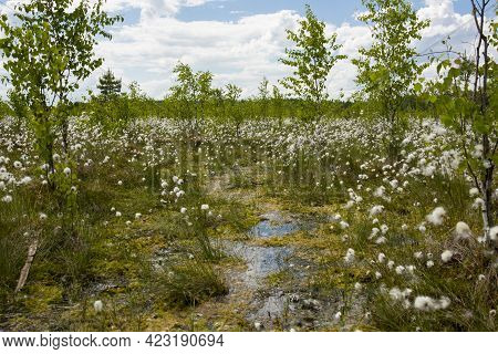Swamps. Belarusian Swamps Are The Lungs Of Europe. Ecological Reserve Yelnya.