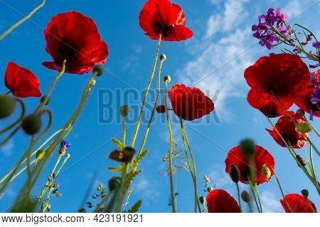 Bright Red Poppies With Sunny Blue Sky. Close Up With Short Depth Of Field.
