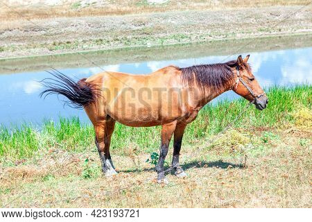 Domestic Brown Horse With Chain On The Riverside . Domestic Mammal In The Summer