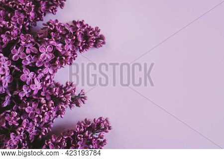 Branches Of Blossoming Lilac On A Purple Background.  Flat Lay. Place For Text.