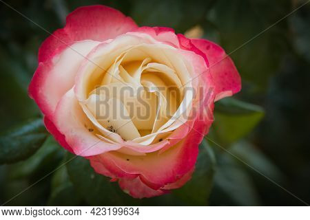 Macro Of Pink And White Rose In The Garden