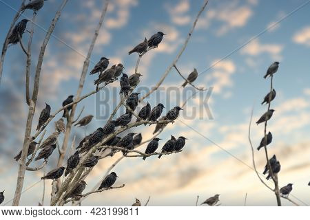 Large Crowd Of Starlings On A Tree Branch