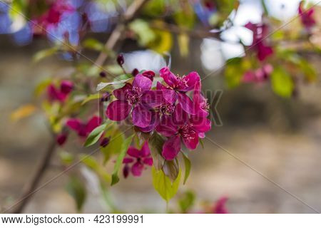 Flowering Decorative Apple Tree. Close Up Of Many Red Crab-apple Flowers In A Tree In Full Bloom In