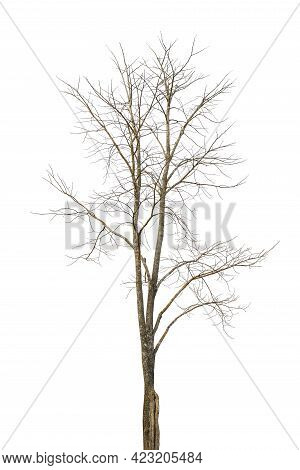 The Leafless Tree Appears To Be Dying On A White Background