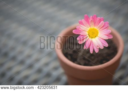 A Pretty Pink Daisy Flower In A Flowerpot As A Table Decoration With Copy Space