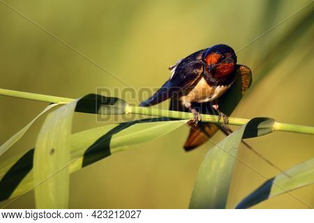 The Barn Swallow (hirundo Rustica) Sitting On A Reed With A Green Background. A Beautiful Swallow Wi