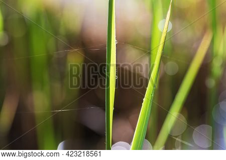Green Stalk Of Tall Grass. There Are Drops Of Water On The Leaves. Nice Bokeh.