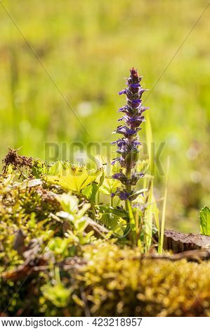 Beautiful Colorful Flower Of Purple Color. Ajuga Reptans Growing On A Green Field In The Grass.