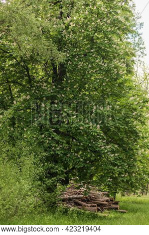Green Tree With White Chestnut Flowers. There Is Cut Wood Under The Chestnut.