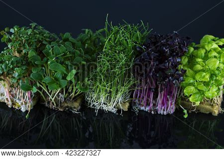 Mix Of Microgreens On A Black Background With Reflection. Micro Greens Of Onions, Radishes, Sunflowe