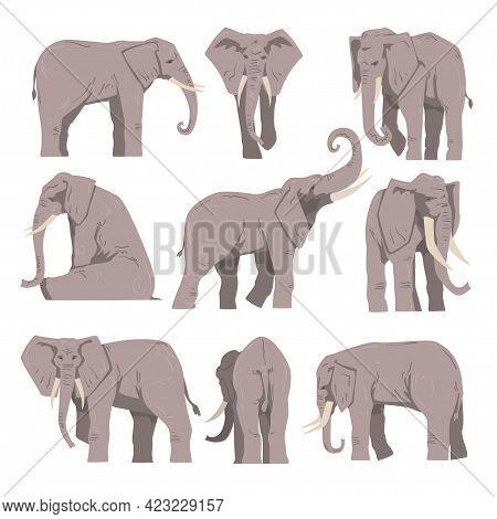 Elephant As Large African Animal With Trunk, Tusks, Ear Flaps And Massive Legs Vector Set