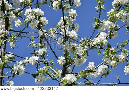 Unique Abstract Pattern Of Branches Of Flowering Apple Tree On Blue Sky Background. Spring Orchard.
